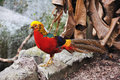 Golden pheasant chrysolophus pictus Stock Photos