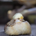 Golden pheasant chrysolophus pictus at zoo Royalty Free Stock Photos