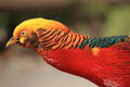 Golden pheasant the detail of Stock Photos