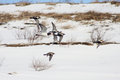 Golden plovers and oystercatcher flock of in flight pluvialis apricaria haematopus ostralegus Royalty Free Stock Photo