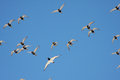 Golden plovers and oystercatcher flock of in flight pluvialis apricaria haematopus ostralegus Stock Photo