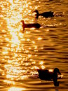 On golden pond Stock Photography