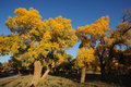 Golden poplar tree under blue sky trees in autumn located in inner mongolia ejinaqi china Stock Photography