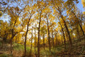 Golden poplar trees in autumn located in inner mongolia ejinaqi china Royalty Free Stock Photography