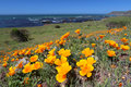 Golden poppy flowers along Pacific Ocean, Big Sur, California, USA Royalty Free Stock Photo