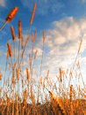 Golden prairie land grass sways against a blue sky with white clouds. Royalty Free Stock Photo