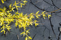 Golden rain branch close up bush against asphalt Royalty Free Stock Photos