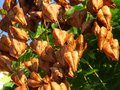 Golden Rain tree, Koelreuteria paniculata, ripe seed pods close-up. Autumn. Nature. Royalty Free Stock Photo