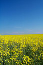 Golden rape field Royalty Free Stock Photo