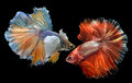 Golden red Colorful  waver of Betta Saimese fighting fish Royalty Free Stock Photo