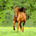 Golden red horse runs trot in summer time free Royalty Free Stock Photos
