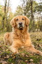 Golden retriever Images libres de droits