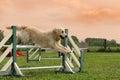 Golden retriever in agility Stock Photo