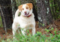 Golden Retriever Anatolian Shepherd Mixed Breed Dog Royalty Free Stock Photo