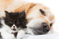 Golden retriever avec un chat persan Photo libre de droits