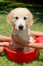 Golden retriever bath time two girls giving their pet a Royalty Free Stock Photography