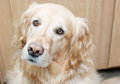 Golden retriever a beautiful looking at the camera inquisitively Stock Photos