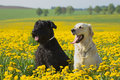 Golden Retriever and Big Black Schnauzer in dandelions meadow Royalty Free Stock Photo