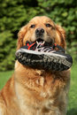 Golden retriever with a boot in teeth Royalty Free Stock Photo
