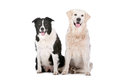 Golden Retriever and a border collie Royalty Free Stock Photo