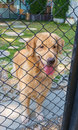 Golden retriever in cage pure cute confine Royalty Free Stock Photo