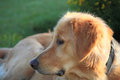 Golden retriever closeup lovely close up in sunny morning Stock Images