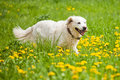 Golden retriever in a dandelion field walks flourish Royalty Free Stock Images