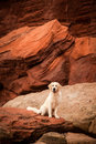 Golden retriever an den roten felsen Stockfotografie