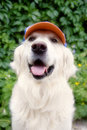 Golden retriever dog Stock Images