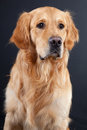 Golden retriever dog on black Royalty Free Stock Photos