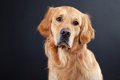 Golden retriever dog on black Royalty Free Stock Photography