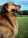 Golden Retriever dog face tongue park Royalty Free Stock Photo