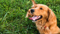 Golden retriever dog. Gorgeous pet dog lying down on grass, with tongue sticking out, looking away