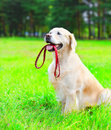 Golden Retriever dog is holding a leash in the mouth Royalty Free Stock Photo
