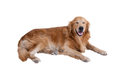 Golden retriever dog isolated Royalty Free Stock Photo