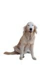 Golden retriever dog isolated Royalty Free Stock Photo