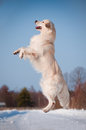 Golden retriever dog jumps in the air Royalty Free Stock Image