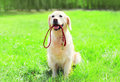 Golden Retriever dog with a leash is sitting on the grass on summer Royalty Free Stock Photo