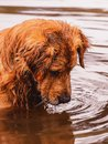 Golden Retriever dog looking down on the water searching for som Royalty Free Stock Photo