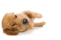 Golden retriever dog looking tired laying down with a grumpy expression on his face Royalty Free Stock Images