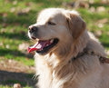 Golden retriever dog in the park Stock Image