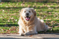 Golden retriever dog in the park Stock Photography