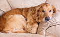 Golden retriever dog portrait of lying in the chair Royalty Free Stock Photography