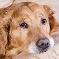 Golden retriever dog portrait of lying in the chair Royalty Free Stock Images