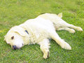 Golden retriever dog resting garden Royalty Free Stock Image