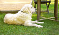 Golden retriever dog resting in the garden Royalty Free Stock Images