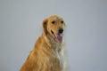 Golden Retriever Dog Sitting Royalty Free Stock Photo