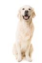 Golden retriever dog sitting on white purebred background Royalty Free Stock Images