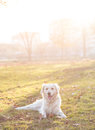 Golden retriever dog in sunlight posing outdoor Royalty Free Stock Photos