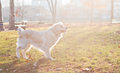Golden retriever dog in sunlight posing outdoor Stock Photography